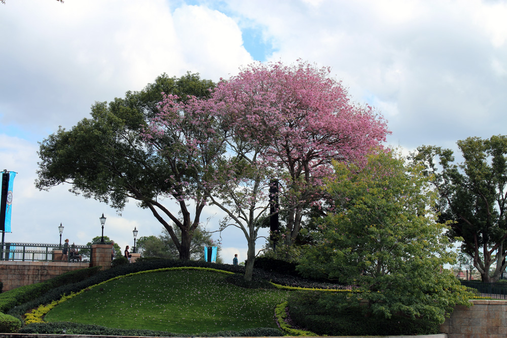 lovely blossoming tree in Epcot